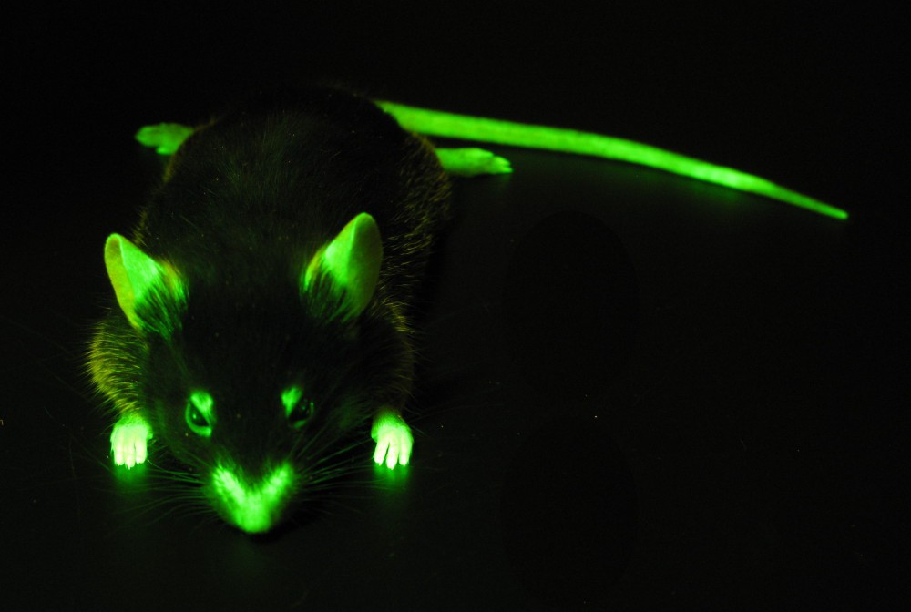 mouse_GFP.jpg